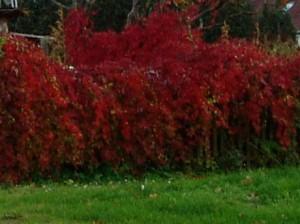Hecke mit buntem Herbstlaub